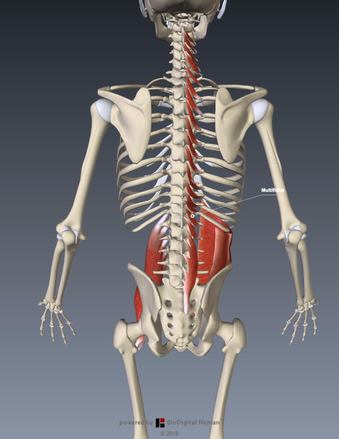 Functional anatomy for sports Multifidus - The Tall Cyclist