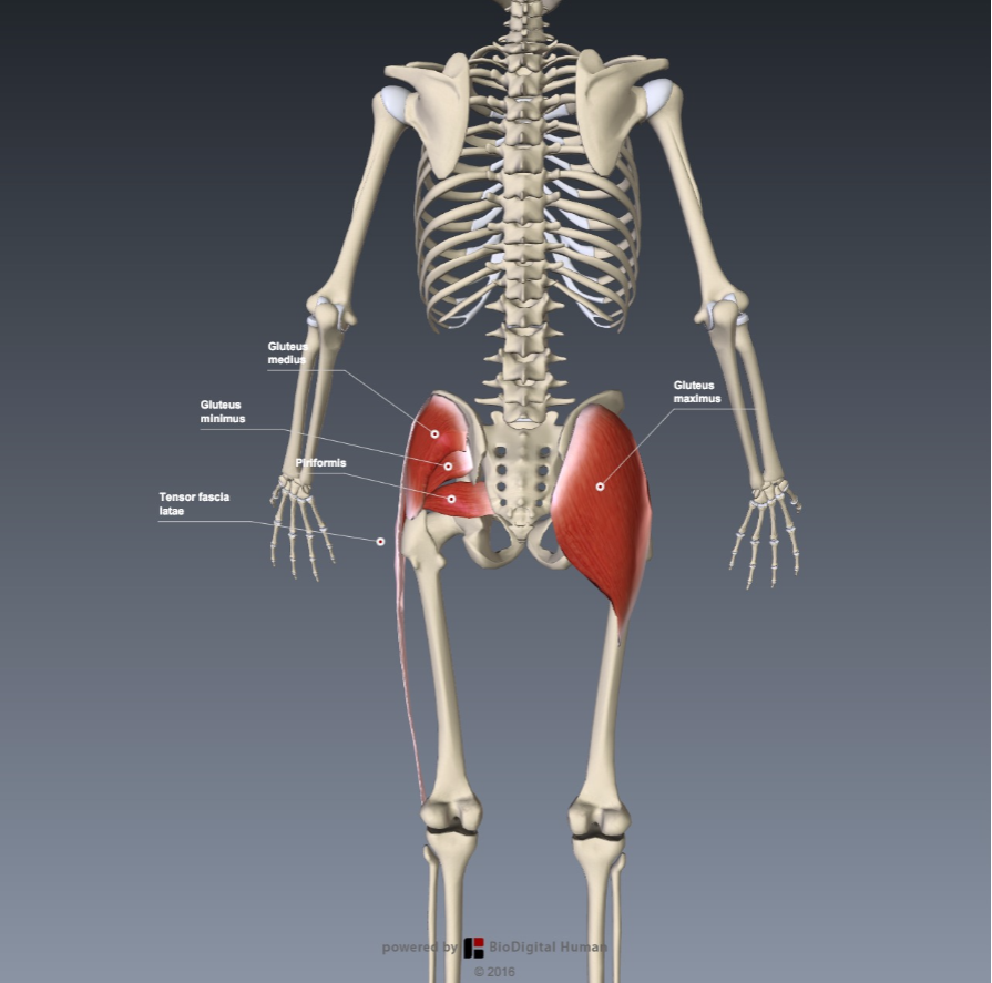 Functional anatomy for sports - The lower control zone - The Tall ...