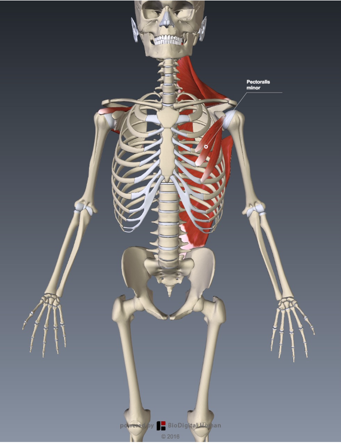 Functional Anatomy for Sports and Cycling