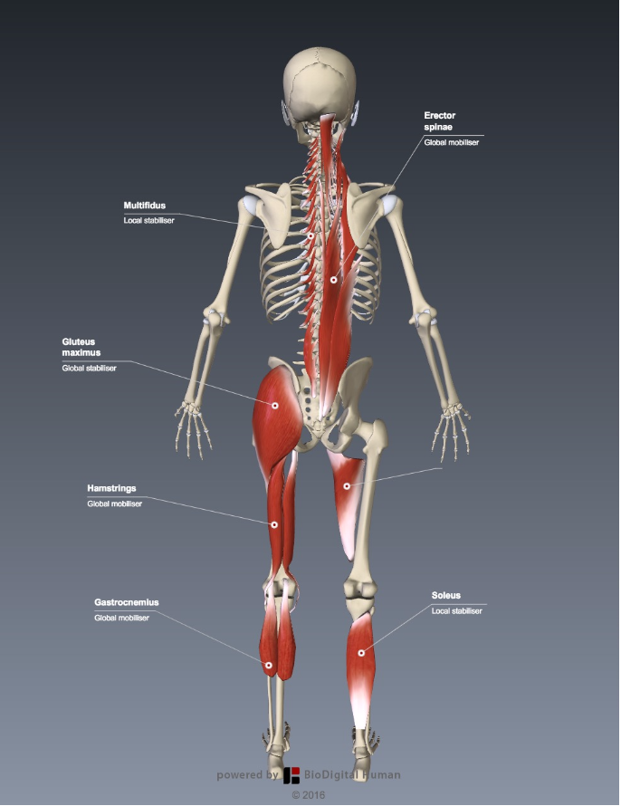 Functional human anatomy